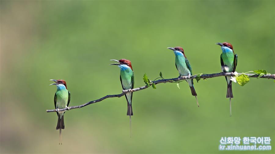 여름으로 들어선 음력 5월은 파란목 벌잡이새가 번식하는 &lsquo;밀월기&rsquo;다. 파란목 벌잡이새들이 둥지를 틀며 날아다니는 풍경은 푸젠성 북부의 자연환경과 어우러져 독특한 &lsquo;생태지도&rsquo;를 펼쳐놓은 듯 하다. [촬영/신화사 기자 메이융춘(梅永存)]<br/>