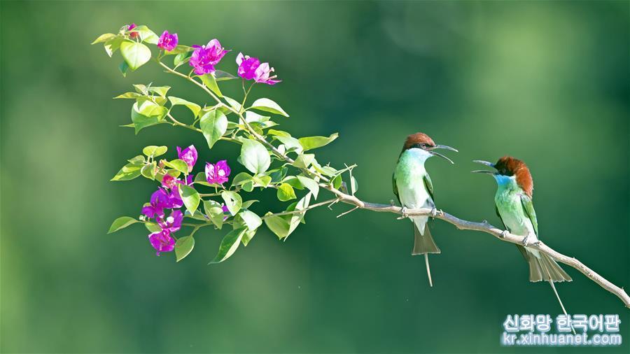 푸젠성 난핑(南平)시 옌핑(延平)구 루샤(爐下)진 세시(斜溪)촌의 산비탈 나뭇가지 위에 파란목 벌잡이새 두 마리가 앉아 있다. (6월15일 촬영)<br/>  여름으로 들어선 음력 5월은 파란목 벌잡이새가 번식하는 &lsquo;밀월기&rsquo;다. 파란목 벌잡이새들이 둥지를 틀며 날아다니는 풍경은 푸젠성 북부의 자연환경과 어우러져 독특한 &lsquo;생태지도&rsquo;를 펼쳐놓은 듯 하다. [촬영/신화사 기자 메이융춘(梅永存)]<br/>
