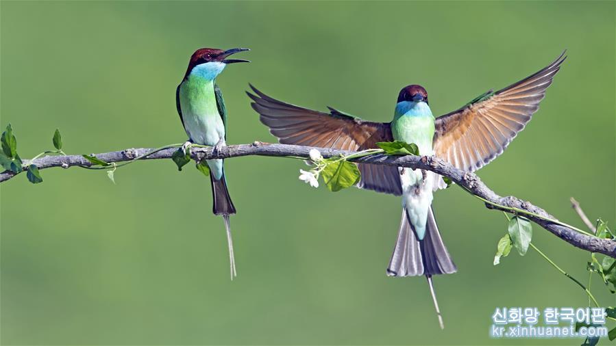 여름으로 들어선 음력 5월은 파란목 벌잡이새가 번식하는 '밀월기'다. 파란목 벌잡이새들이 둥지를 틀며 날아다니는 풍경은 푸젠성 북부의 자연환경과 어우러져 독특한 '생태지도'를 펼쳐놓은 듯 하다. [촬영/신화사 기자 메이융춘(梅永存)]