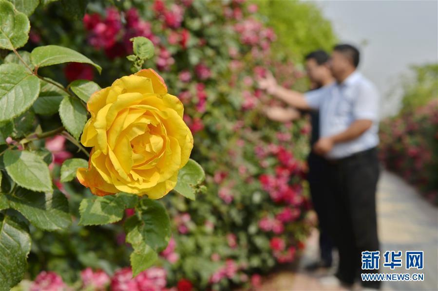 관광객들이 바이샹(柏鄉)현 바이량(柏糧)마을의 '월계 미로'를 관람하고 있다. [사진 출처: 신화망]