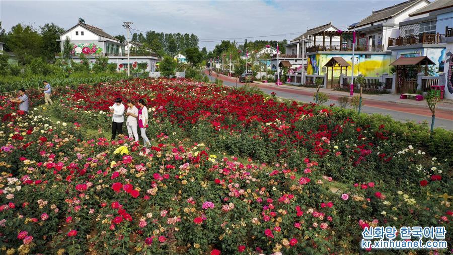 6월17일, 나들이객들이 &lsquo;장미마을&rsquo;에서 활짝 핀 꽃을 구경하고 있다. (드론 촬영) 산시(陝西) 뤄난(洛南)현의 장미마을 메이구이샤오전(玫瑰小鎮)은 &lsquo;회사+기지+농가&rsquo;의 방식으로 장미 꽃바다를 주제로 통나무집 풍경 호텔, 워터파크, 그래피티 아트 마을 등 관광 체험 프로젝트를 건설해 단일한 농업 생산에서 레저형 농업 체험으로의 전환을 실현했다. 2017년5월 개장 이후 40여만 명이 방문했다. 산간지역 특색 빈곤지원의 새로운 모델 개발을 통해 지난해 주민의 1인당 수입이 평균 8000위안에 달하면서 전반적으로 빈곤에서 벗어났다. [촬영/신화사 기자 타오밍(陶明)]<br/>