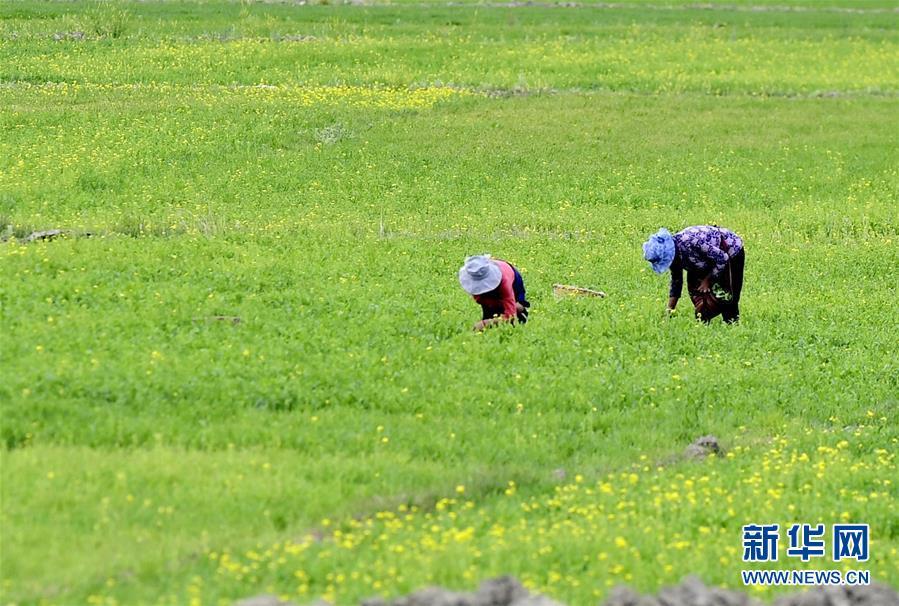 <br/>   农牧民在日喀则桑珠孜区郊外的青稞地里拔除杂草(6月22日摄)。新华社记者 张汝锋 摄