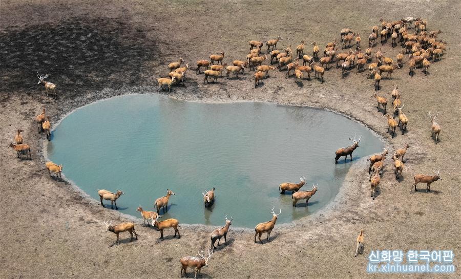 6월28일, 장쑤 다펑(大豐) 미록 국가급 자연보호구의 연못 부근에서 미록이 쉬고 있다.(드론 촬영).<br/>  생태 환경의 개선과 동물 보호 노력이 확대됨에 따라 장쑤 다펑 미록 국가급 자연보호구 미록의 번식을 위한 외부환경도 갈수록 좋아지고 있다. 현재 개체수는 5016마리에 달한다. 한편 올해 보호구의 미록이 새끼를 800여 마리 낳아 개체수가 늘었다. &lsquo;사불상&rsquo;으로도 불리는 미록은 중국 1급 보호동물이다. 현재 중국 미록의 개체수는 이미 6000여 마리에 달해 세계 전체 개체수의 약90%에 육박한다. [촬영/신화사 기자 리샹(李響)]<br/>
