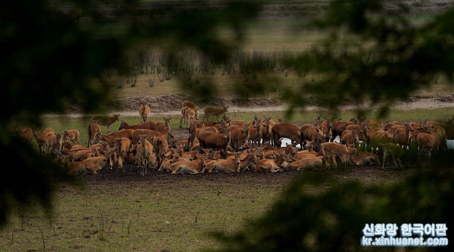 생태 환경의 개선과 동물 보호 노력이 확대됨에 따라 장쑤 다펑 미록 국가급 자연보호구 미록의 번식을 위한 외부환경도 갈수록 좋아지고 있다. 현재 개체수는 5016마리에 달한다. 한편 올해 보호구의 미록이 새끼를 800여 마리 낳아 개체수가 늘었다. &lsquo;사불상&rsquo;으로도 불리는 미록은 중국 1급 보호동물이다. 현재 중국 미록의 개체수는 이미 6000여 마리에 달해 세계 전체 개체수의 약90%에 육박한다. [촬영/신화사 기자 왕위궈(王毓國)]<br/>