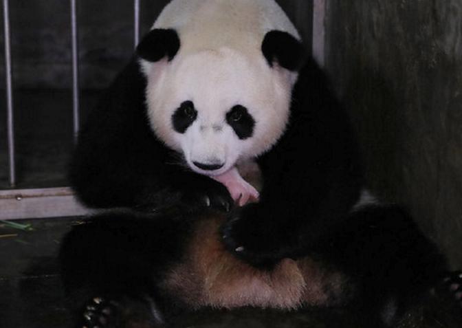 海归大熊猫诞下龙凤胎