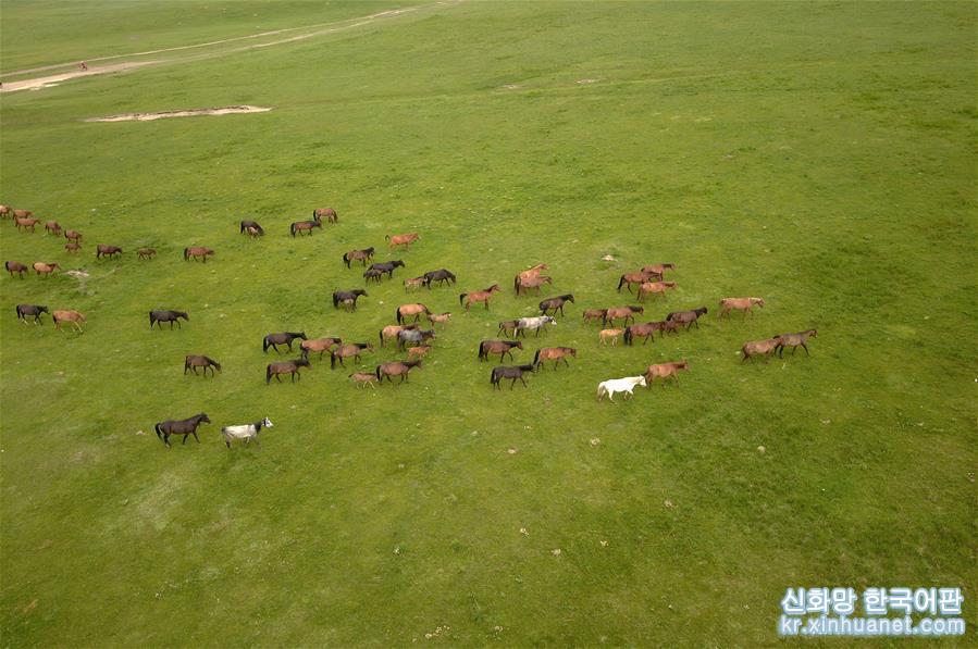 더위가 한창인 7월, 간쑤(甘肅)성 허시(河西)저우랑(走廊) 중부와 치렌산(祁連山) 북쪽 기슭에 위치한 수풀이 무성한 산단(山丹) 목마장에서 말들이 무리를 지어 울타리 안에서 풀을 먹으며 휴식하고 있다. 소개에 따르면, 산단목장은 서한 시기부터 시작하여 현재까지 2000여년 동안 말을 기르고 있다고 한다.[촬영/신화사 기자 판페이퀀(范培珅)]