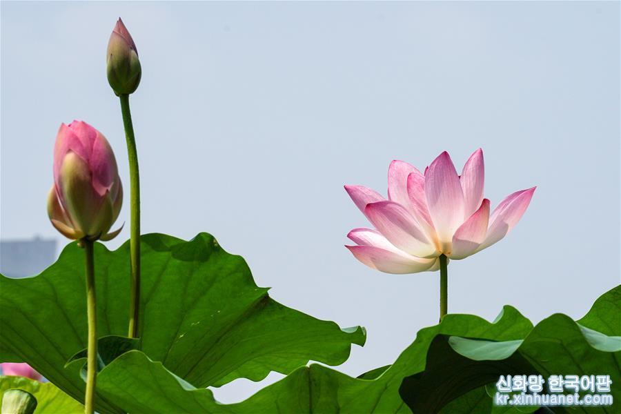 7월23일 난징 쉬안우후 공원에서 촬영한 연꽃 [촬영/신화사 기자 리보(李博)]