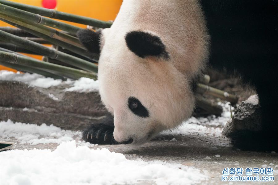 8월 12일, 판다 쓰자(思嘉)가 판다관에서 활동하고 있다. 이날 판다 쓰자는 중국 야부리(亚布力) 판다관에서 13살 생일을 보냈다. 쓰자는 판다관 사육사가 준비한 맛있는 음식과 장난감으로 자기의 &lsquo;생일파티&rsquo;에서 놀고 먹으며 온갖 재롱을 피웠다. 2006년 8월 12일 쓰촨(四川) 워룽(臥龍) 중국판다보호연구센터에서 태어난 판다 쓰자는 2016년 7월 5일 헤이룽장(黑龍江)성 중국야부리판다관으로 옮겨왔다. [촬영/ 신화사 기자 왕쑹(王松)]<br/>