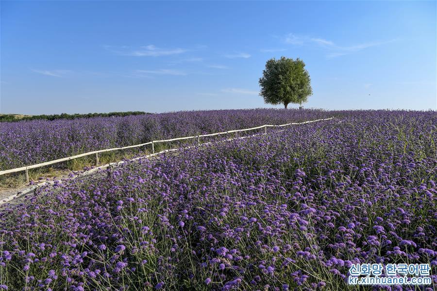 닝샤 아이이(艾伊) 라벤더 생태기지 안에 마편초가 활짝 피었다. (8월17일 드론 촬영) 여름에서 가을로 넘어가는 계절, 닝샤 인촨(銀川)시 아이이(艾伊) 라벤더 생태기지에 펼쳐진 화려한 꽃바다는 향긋한 꽃내음으로 가득하다. 마오우쑤 사막 가장자리에 위치한 생태기지는 사막 토지 개량과 관개기술을 이용해 라벤더, 마편초, 금광국 등의 화웨 및 레드파인, 신장양 등 20여 가지의 수목을 재배하고 있다. 과거 황량했던 사막은 꽃바다와 오아시스로 변신해 많은 유람객들이 찾는 에코 힐링지로 각광받고 있다. [촬영/신화사 기자 펑카이화(馮開華)]<br/>
