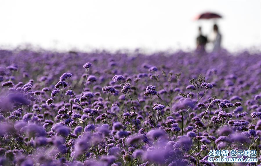 닝샤 아이이(艾伊) 라벤더 생태기지 안에 마편초가 활짝 피었다. (8월17일 드론 촬영) 여름에서 가을로 넘어가는 계절, 닝샤 인촨(銀川)시 아이이(艾伊) 라벤더 생태기지에 펼쳐진 화려한 꽃바다는 향긋한 꽃내음으로 가득하다. 마오우쑤 사막 가장자리에 위치한 생태기지는 사막 토지 개량과 관개기술을 이용해 라벤더, 마편초, 금광국 등의 화웨 및 레드파인, 신장양 등 20여 가지의 수목을 재배하고 있다. 과거 황량했던 사막은 꽃바다와 오아시스로 변신해 많은 유람객들이 찾는 에코 힐링지로 각광받고 있다. [촬영/신화사 기자 펑카이화(馮開華)]