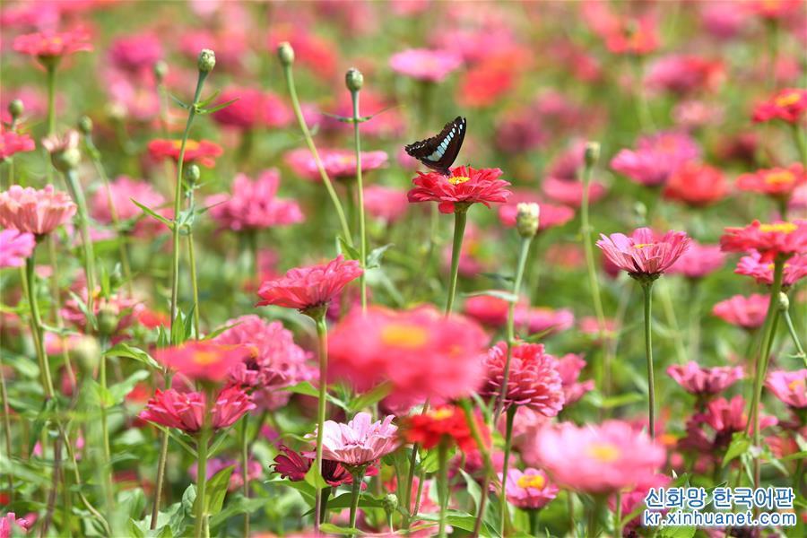 가을이 되면서 안후이성 허페이(合肥)시에 위치한 월계화 가든 도심 공원은 사방이 꽃향기로 가득하고, 알록달록한 꽃들이 눈을 즐겁게 해 나들이객들에게 도심 속 휴양지로 각광받고 있다. [촬영/신화사 기자 장돤(張端)]<br/>