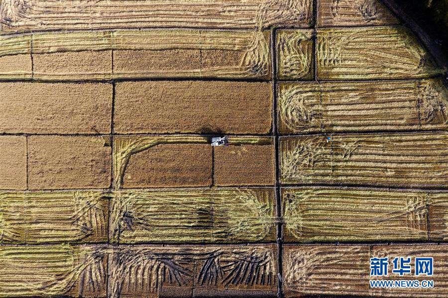타이위안(太原)시 진위안(晉源)구 츠차오(赤橋)촌 논밭에서 수확 작업이 한창이다. [10월 28일 드론 촬영/사진 출처: 신화망]<br/>  황금빛으로 물든 가을, 산시(山西)성 타이위안(太原)시 진위안(晉源)구 2,000묘((畝: 면적 단위&bull;1묘는 약 666.67㎡)의 논밭이 수확 철을 맞았다. 곡식 향기 물결치는 들판의 모습이 풍요롭다.<br/>