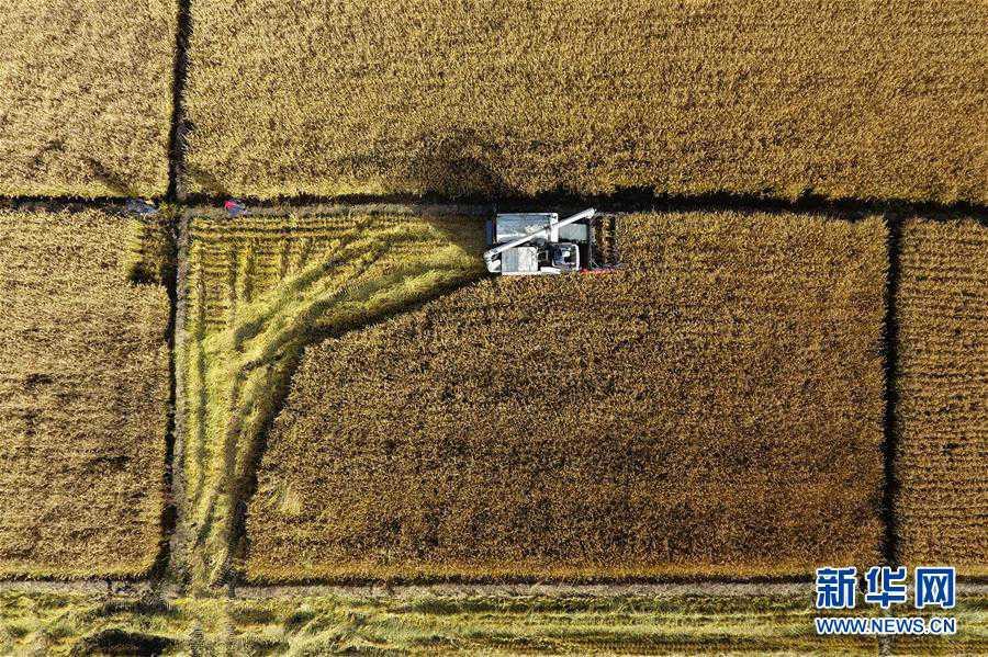 타이위안(太原)시 진위안(晉源)구 츠차오(赤橋)촌 논밭에서 수확 작업이 한창이다. [10월 28일 드론 촬영/사진 출처: 신화망]