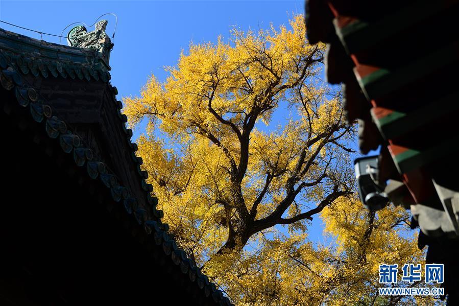 <br/>  11月11日,大觉寺内的古银杏与建筑相映成趣。新华社记者 尹栋逊 摄