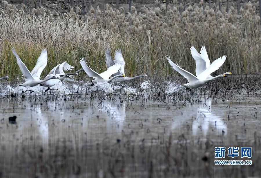 <br/>  初冬时节,山东济南龙湖湿地和鹊山水库鸟类翔集,一派生机勃勃景象。