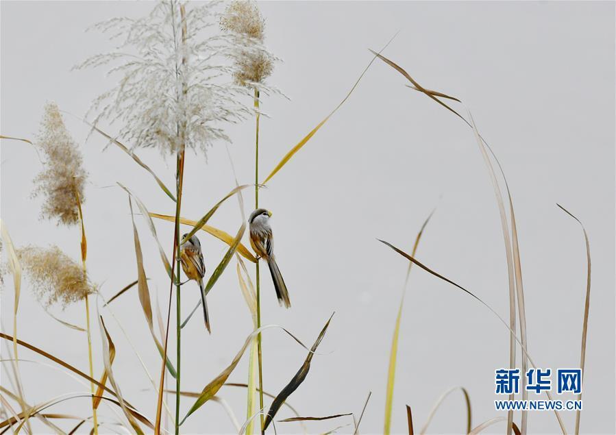 <br/>  初冬时节,山东济南龙湖湿地和鹊山水库鸟类翔集,一派生机勃勃景象。<br/>