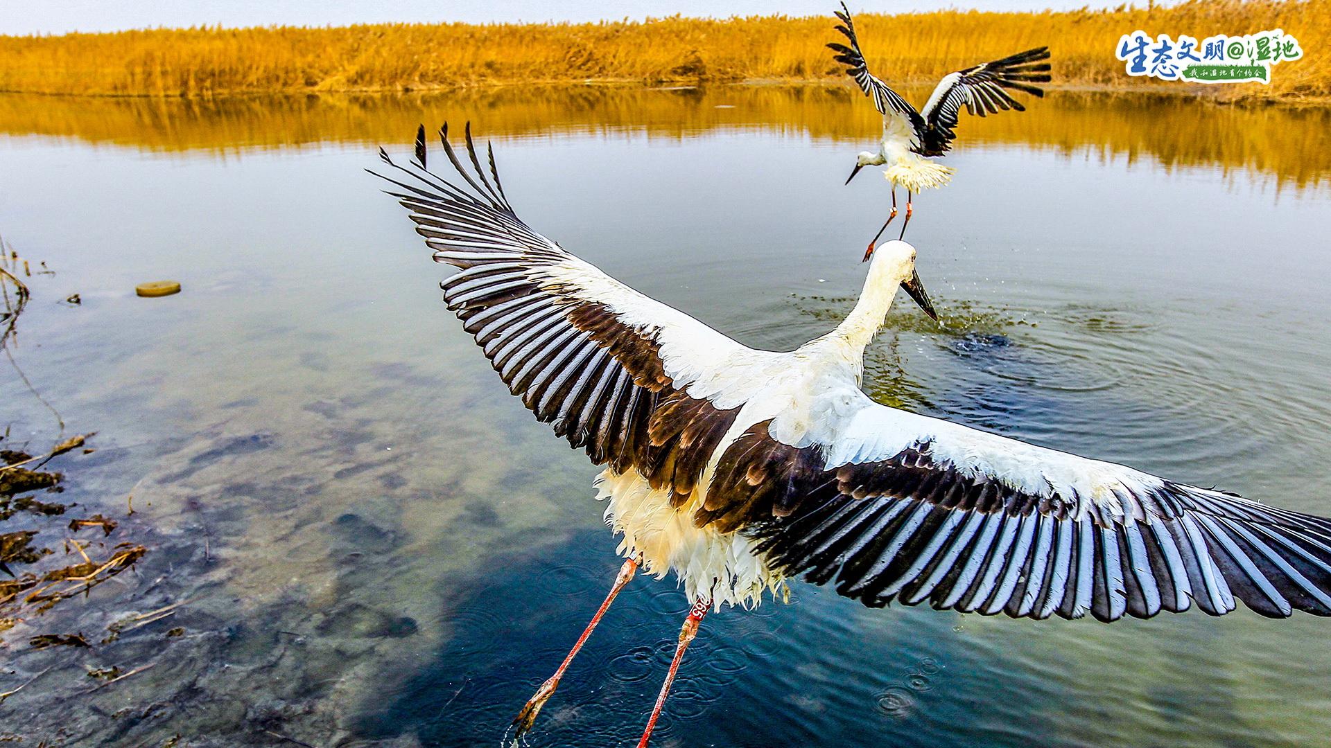 湿地,是自然馈赠给人类的丰富营养能够保护生物多样性,调节径流,改善水质。湿地,也是候鸟长途迁徙中栖息的地方。土壤浸泡在水中,孕育了丰富的鱼虾,成为鸟类能量补给的来源。许多水生植物,又成为了鸟类天然的遮蔽所。因此,这些位于迁徙路线上的湿地,又被誉为&ldquo;鸟类的乐园&rdquo;。<br/>