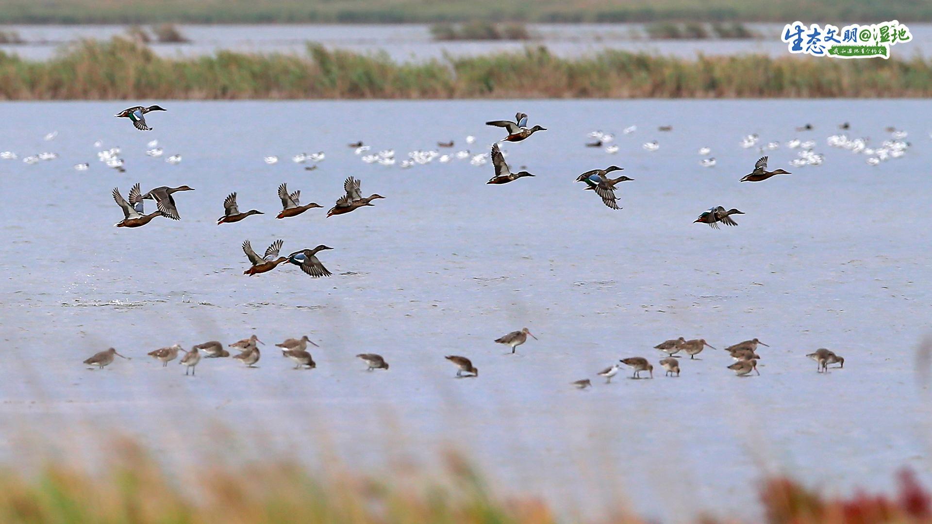 在北大港湿地上空,鸟群肆意翱翔。<br/>
