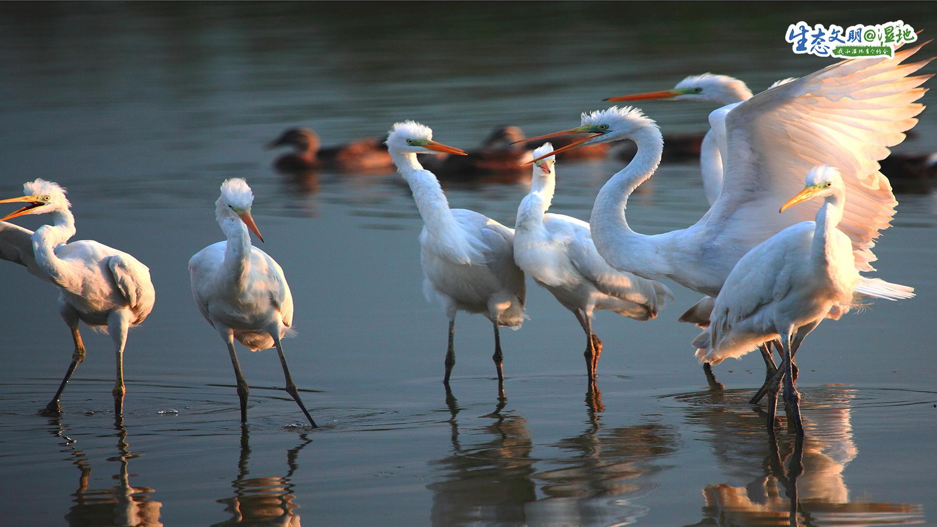 全球有8条候鸟迁徙路线。天津,则是东亚到澳大利亚候鸟迁徙途中的必经之路。天津海岸线鱼草丰美的潮间带是候鸟栖息的理想场所。<br/>