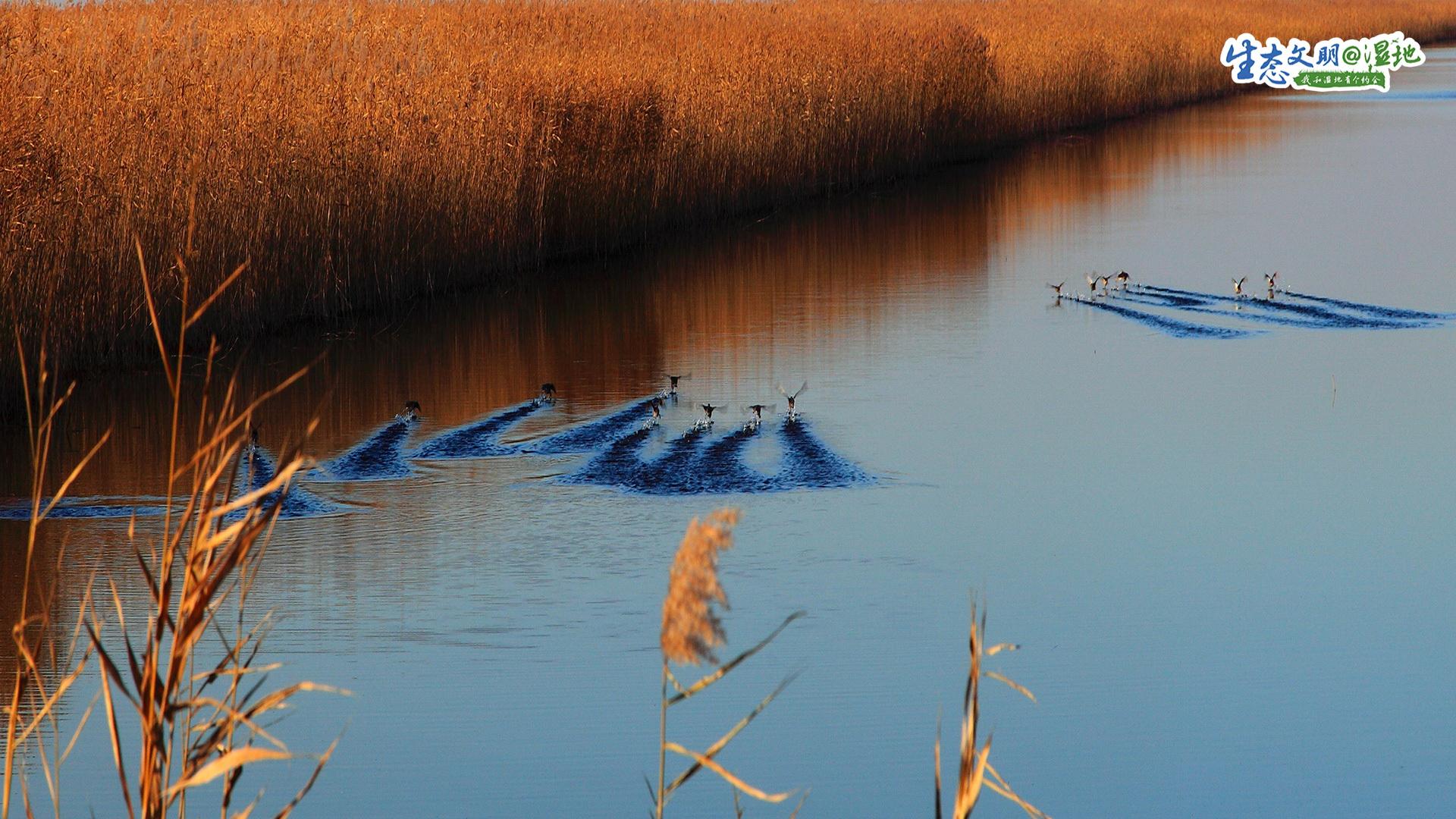 天津地处九河下梢,湿地资源丰富,根据第二次全国湿地资源调查,天津各类湿地总面积29.56万公顷,陆域湿地占全市国土面积的17.1%。<br/>