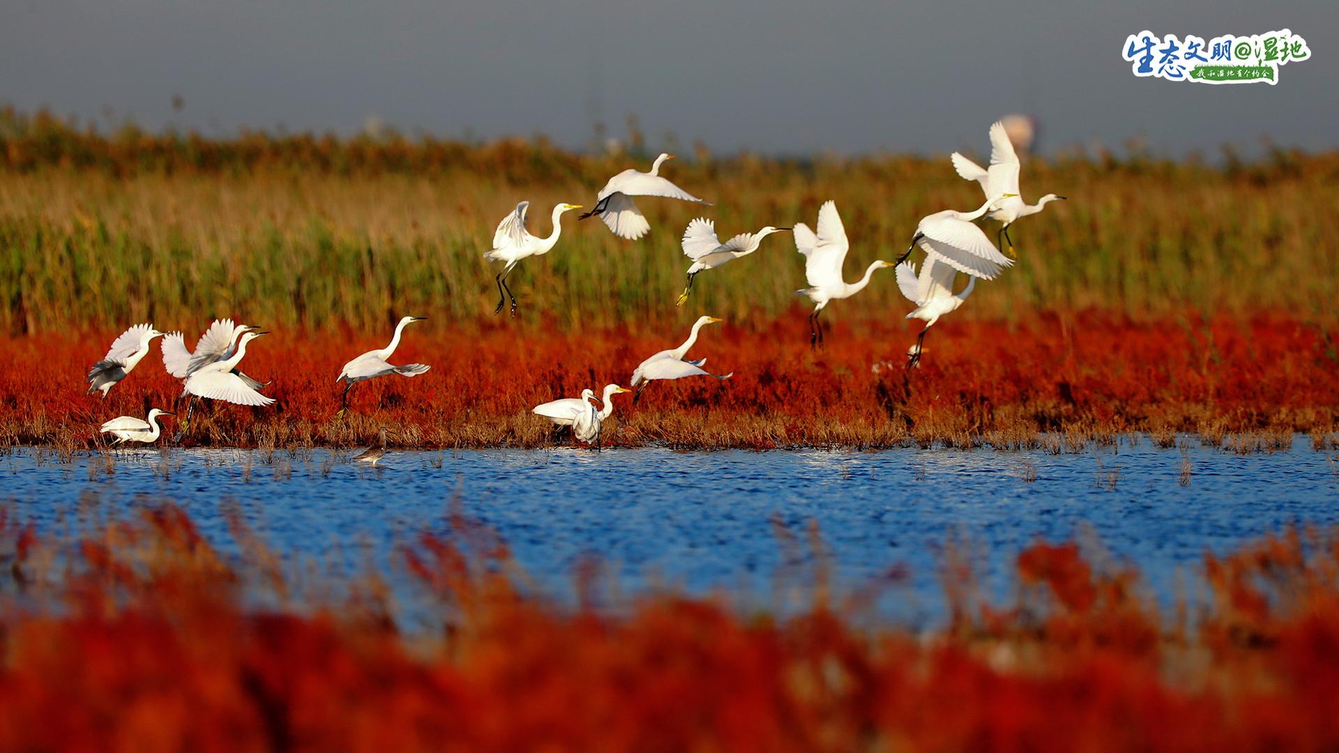 初冬的北大港湿地,深红的碱蓬草,犹如一片&ldquo;珊瑚海&rdquo;;金黄的芦苇丛,摇曳轻荡在风中。在这自然孕育的环境中,候鸟成为了这里的主人。<br/>