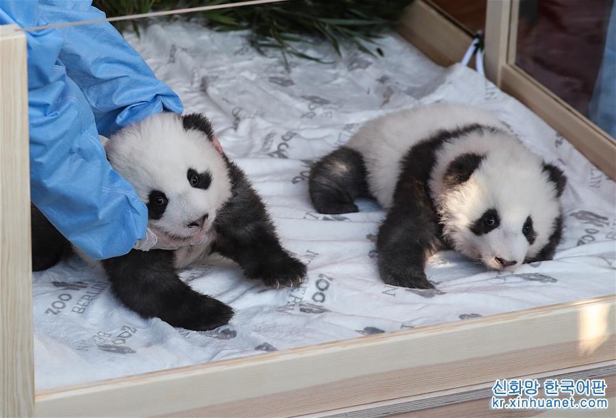 독일 베를린동물원에서 태어난지 100일 된 판다 쌍둥이가 9일 '멍샹'과 '멍위안'으로 정식 명명되었다. [촬영/ 신화사 기자 산위치(單宇琦)]