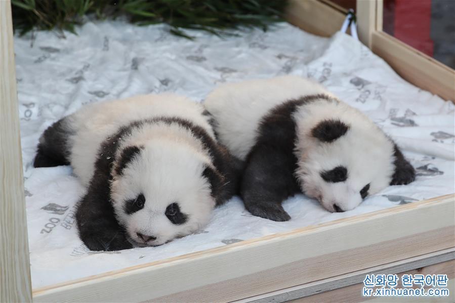 독일 베를린동물원에서 태어난지 100일 된 판다 쌍둥이가 9일 &lsquo;멍샹&rsquo;과 &lsquo;멍위안&rsquo;으로 정식 명명되었다. [촬영/ 신화사 기자 산위치(單宇琦)]<br/>
