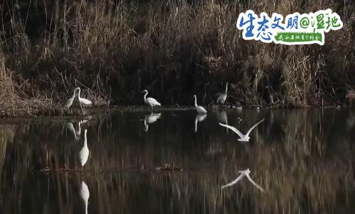 【生态文明@湿地】陕西多地候鸟