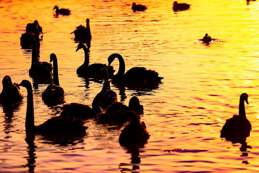 大天鹅栖息双龙湖湿地公园悠然越冬