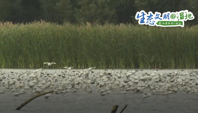 【生态文明@湿地】珍稀濒危候鸟飞抵南沙湿地 漫天飞羽蔚为壮观