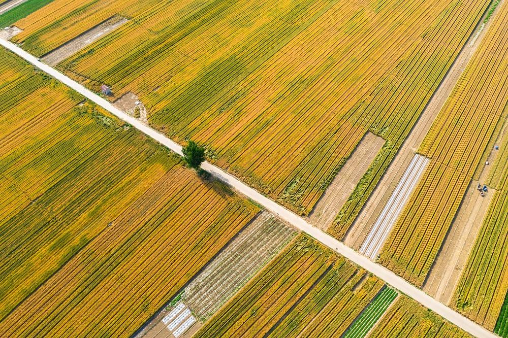 夏粮小麦进入收获期 济南黄河岸边金色麦浪美如画