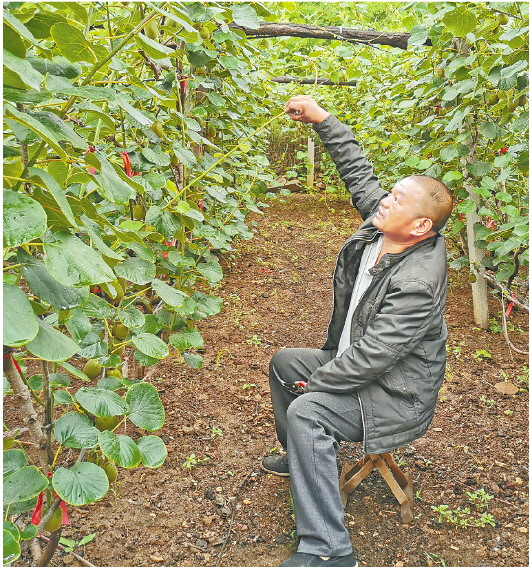 焦裕德正在猕猴桃树下劳作。