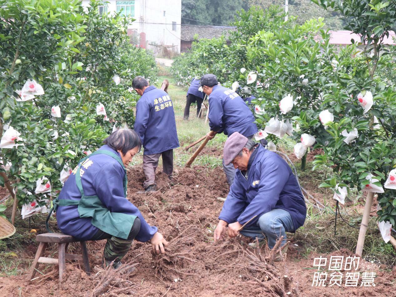 村民在种植基地挖芍药(摄影:央视网记者 董淑云)