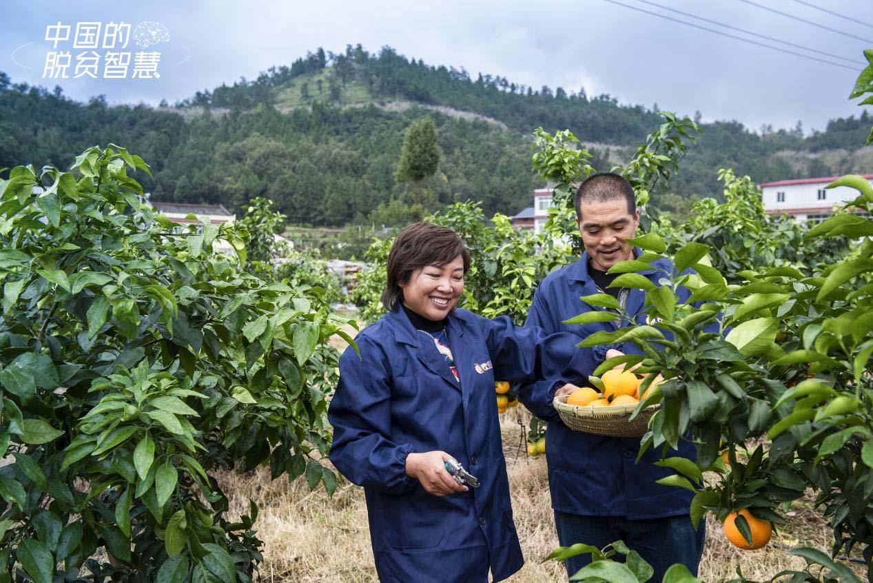 唐武琼(左一)在果园采摘柑橘(受访者供图)