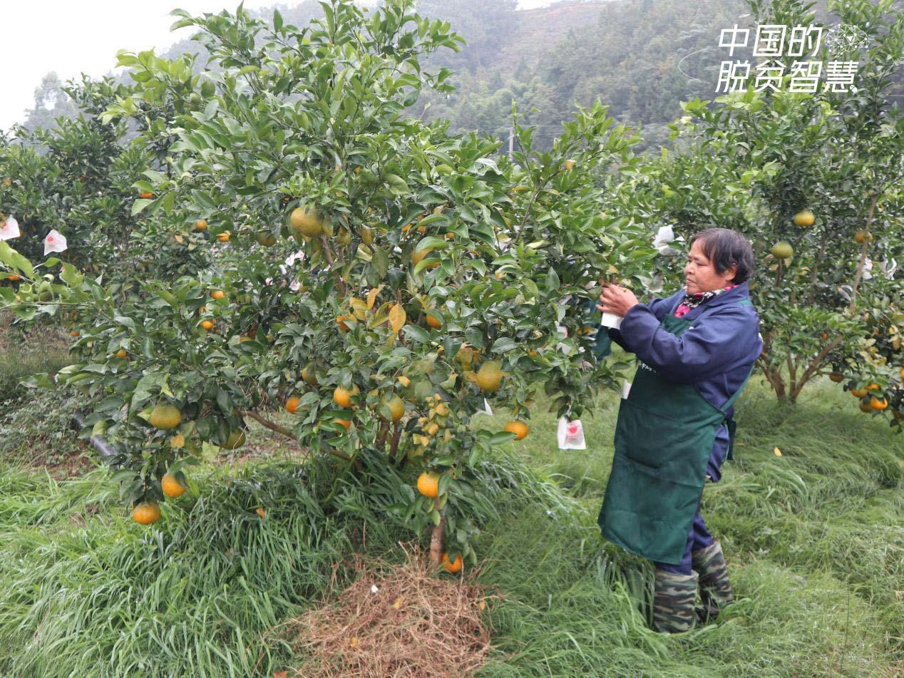 村民在果园套果袋(摄影:央视网记者 董淑云)
