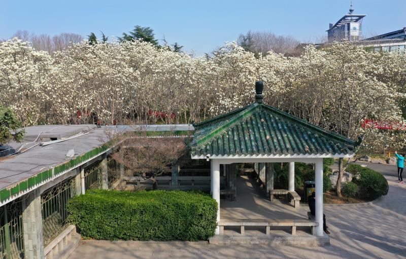 春的昭示——百花公园的玉兰花竞相绽放