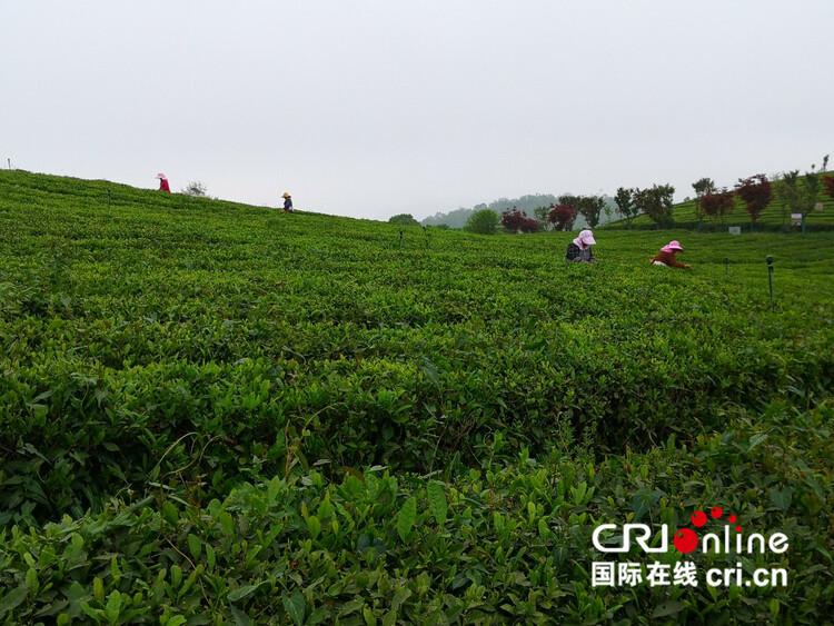 【民族要复兴 乡村必振兴】贵州清镇:以茶产业助力乡村振兴_fororder_1