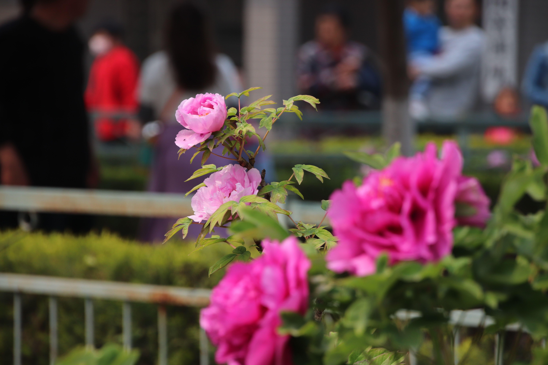 山东菏泽:文化旅游产业如季春牡丹