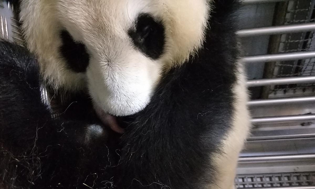 Hua Zuiba Photo: Courtesy of Chengdu Research Base of Giant Panda Breeding